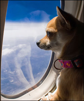 emotional-support-animal-airlines