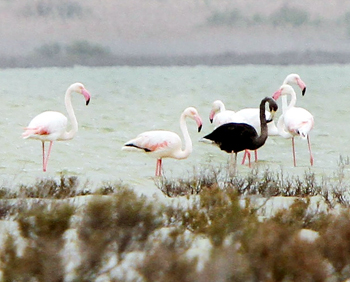 black and pink flamingo