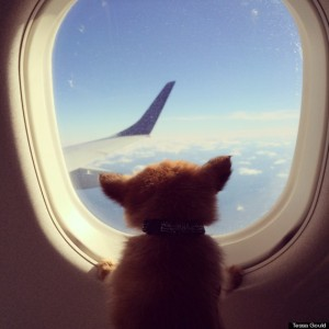 emotional support dogs airplanes